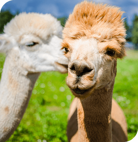 Alpacas & Llamas | Farm Services | Aireworth Vets