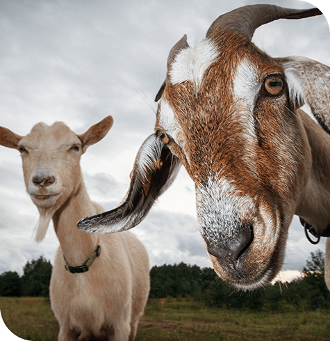 Goats | Farm Services | Aireworth Vets
