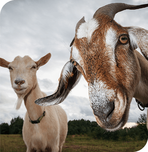 Goats | Farm | Aireworth Vets
