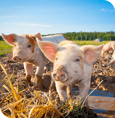 Pigs | Farm Services | Aireworth Vets