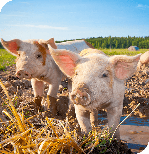 Pigs | Farm | Aireworth Vets