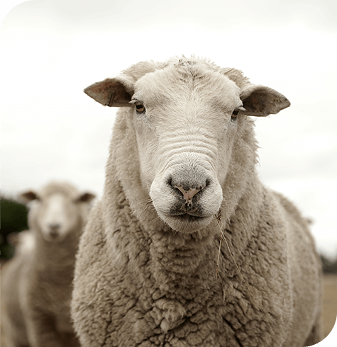 Sheep | Farm | Aireworth Vets