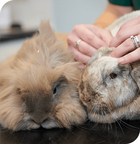 Rabbit Vaccinations | Aireworth Vets